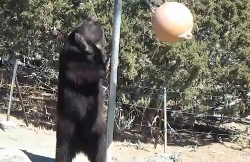 Video: The Tetherball-playing Bear